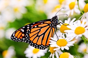 Monarch on daisy